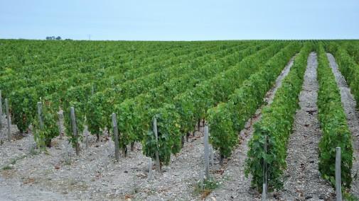 Margaux, vinogradi