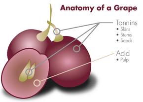 Zgradba vinske jagode grozdja