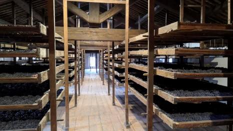 Sušenje grozdja Corvina za pridelavo vina Amarone, foto Andrej Planina